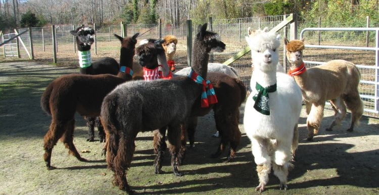 Image of 8 Alpaca's (four brown, one white and two tan Alpaca's) in a large pen at a real Alpaca Farm in Cape May, NJ. A fun thing to do in NJ for kids and adultys of all ages