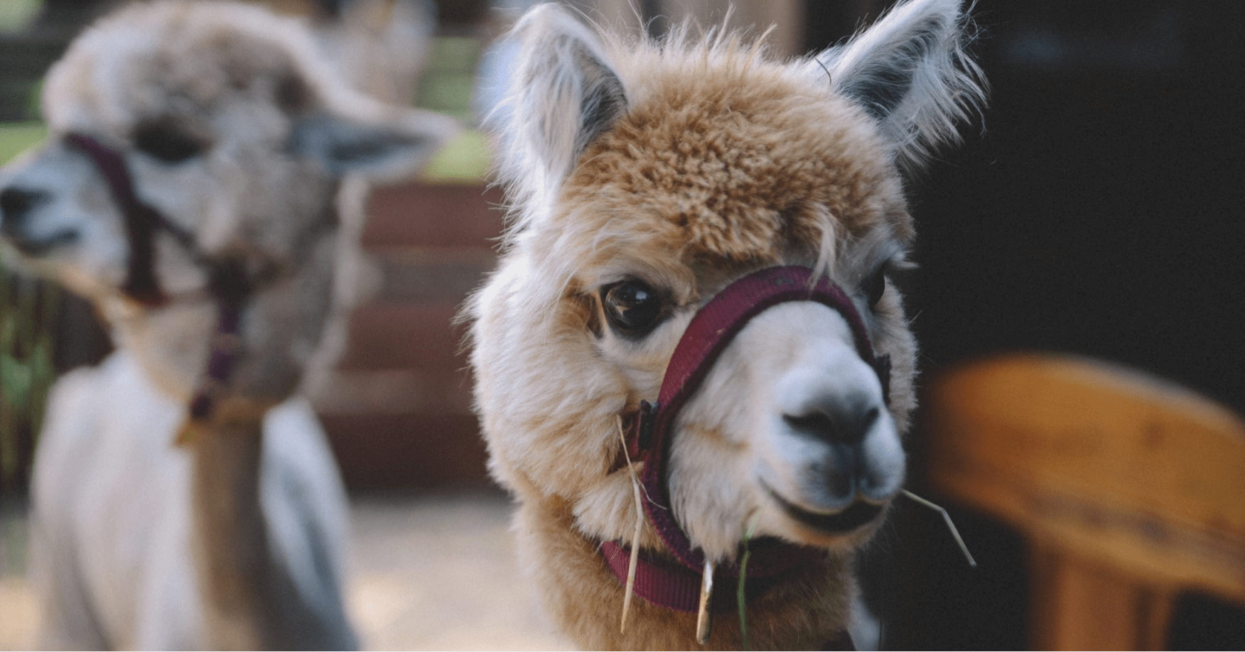 Alpaca Farms for Families in New Jersey