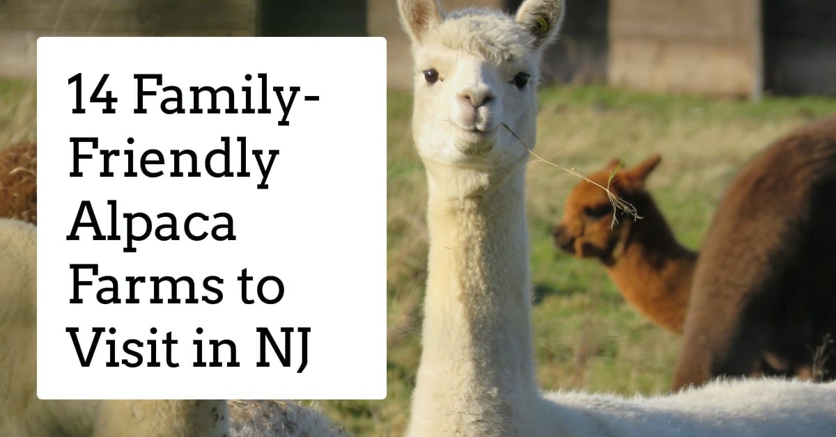 Fun and Family-Friendly Alpaca Farms to Visit in NJ