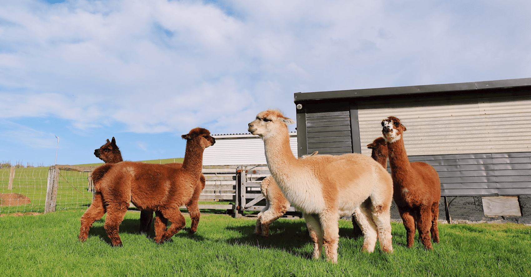 14 Educational and Family-Friendly Alpaca Farms to Visit in NJ!