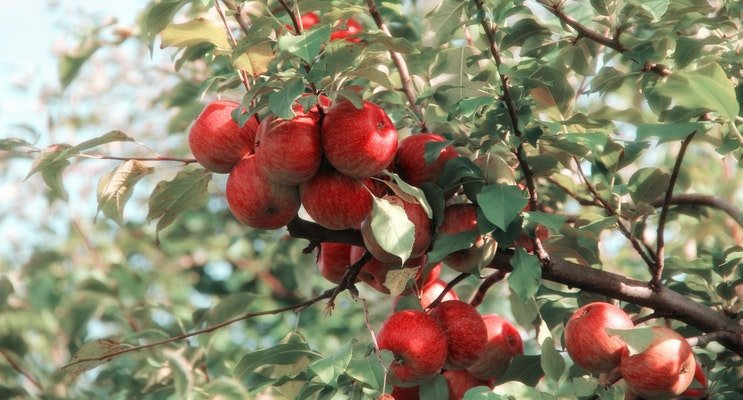 Image of an apple tree in NJ with clusters of ripe red apples ready to pick